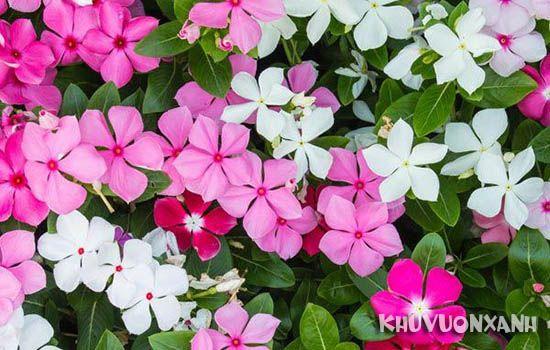 Hướng dẫn chăm sóc hoa dừa cạn đứng