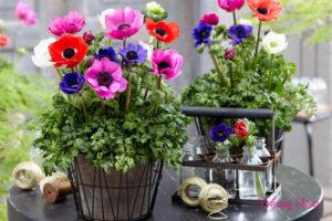Chậu cây hoa hải quỳ để bàn