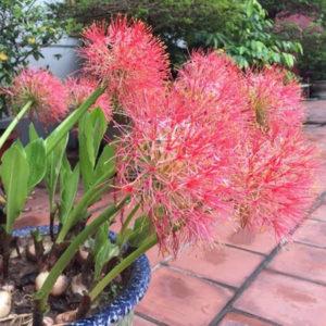 Hồng tú cầu có màu đỏ, còn được gọi là Huyết Hoa