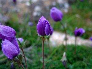 Cây hoa hải quỳ