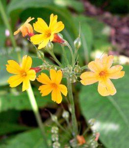 Cây thuộc hoa Hoa Anh Thảo