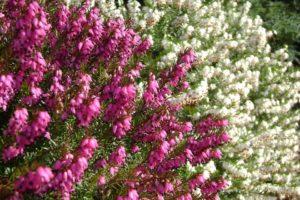 Cây còn gọi là hoa thạch thảo châu âu