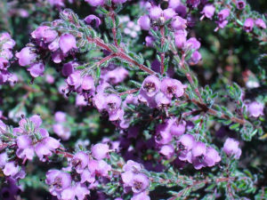Cây hoa thạch nam
