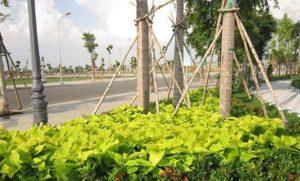 Cây lá trắng trang trí đường phố