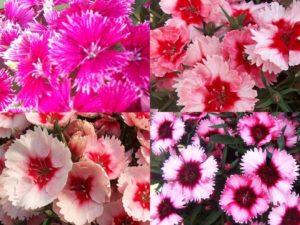 Cây mã tiên nữ có nhiều màu hoa khác nhau