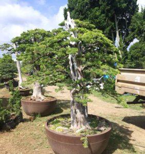 Chậu cây trắc bá bonsai