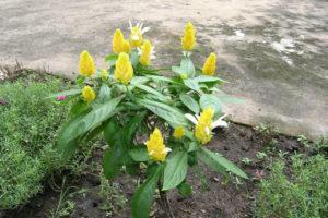Cây rồng nhả ngọc trang trí sân vườn