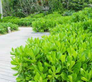 Cây phong ba trồng trang trí cảnh quan