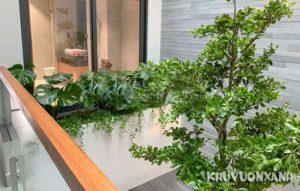 Cây bàng Đài Loan có trồng trong nhà được không