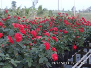 Cây hoa hồng lửa Sa Đéc