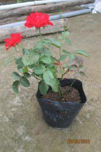 Chậu cây hoa hồng lửa giống
