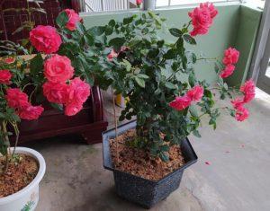 Chậu cây hoa hồng lửa trang trí