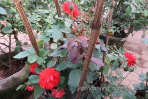 Hoa hồng lửa thể hiện tình yêu nồng cháy