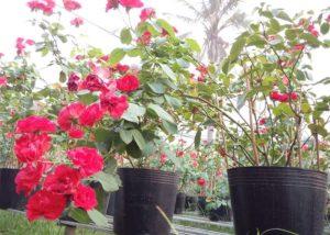 Hoa hồng lửa màu đỏ rực rỡ