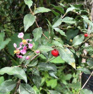 Hoa và quả cây hồng ngọc mai