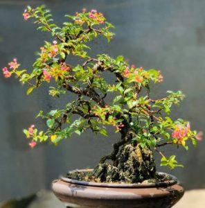 Chậu cây hồng ngọc mai trang trí nội thất