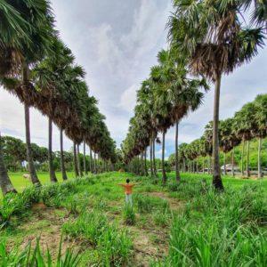 Hàng cây thốt nốt