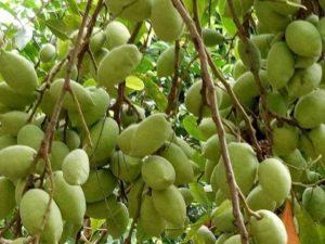 cây cà na thái
