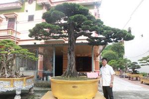 Cây duyên tùng bonsai