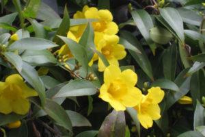 Cây nhài leo hoa vàng