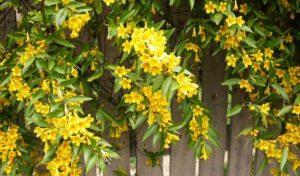 Cây hoa nhài vàng