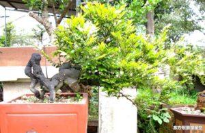 Ý nghĩa phong thủy cây tùng đen