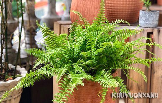 Cách chăm sóc cây dương xỉ làm cảnh trong nhà