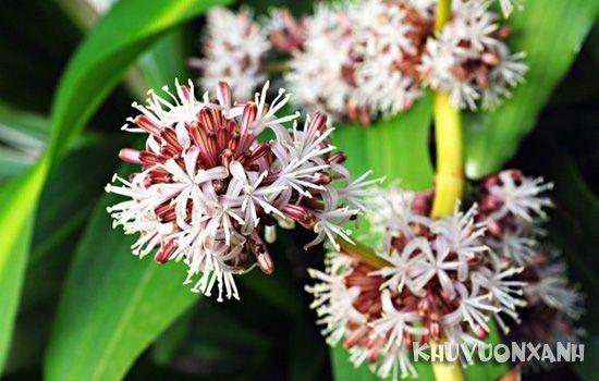 Thiết mộc lan ra hoa có ý nghĩa gì
