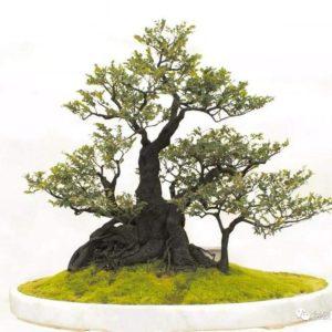 cây tùng đen bonsai