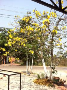 Cây mai hoa đăng trước nhà