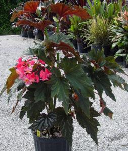 Hoa thu hải đường cánh thiên thần đỏ