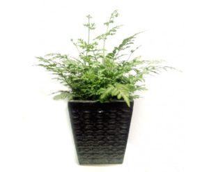 Chậu cây dương xỉ cẩm thạch để bàn