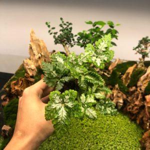 Cây dương xỉ cẩm thạch giống