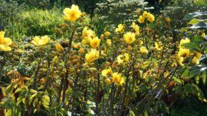 Mai hoa đăng nở dịp tết