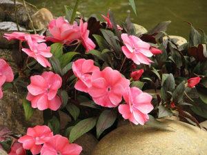 Cây hoa mai địa thảo