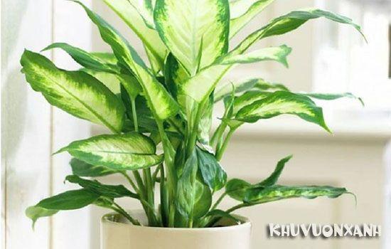 Cây vạn niên thanh có độc không? Có nên trồng trong nhà không