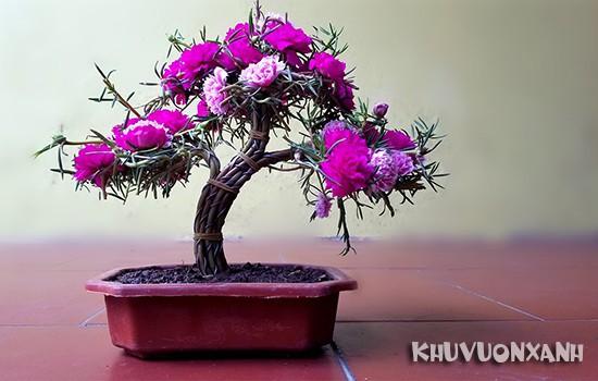 Hoa mười giờ bonsai