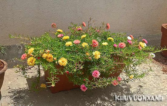 Có nên trồng hoa mười giờ trước nhà hay không
