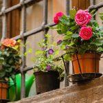 Hoa hồng trồng ở ban công giúp hóa giải sát khí