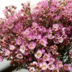 Hoa thanh liễu
