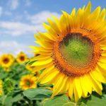 Cây hoa hướng dương