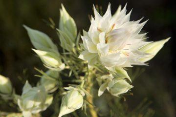 Cây hoa ngọc sắc – hoa ngoại nhập độc đáo