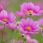 Cây hoa sao nhái