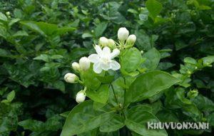Cây hoa nhài hợp mệnh gì