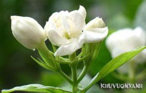 Cách trồng hoa lài tại nhà