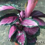 Cây đuôi công hồng