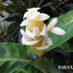 Hoa đuôi công nở mùa nào