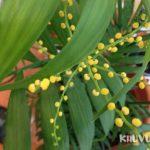 Cây cau tiểu trâm ra hoa