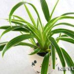 Cây dây nhện (cỏ lan chi)