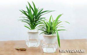 Cách trồng cây cỏ lan chi thủy sinh